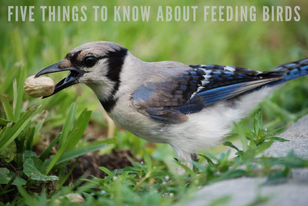 Five Things To Know About Feeding Birds