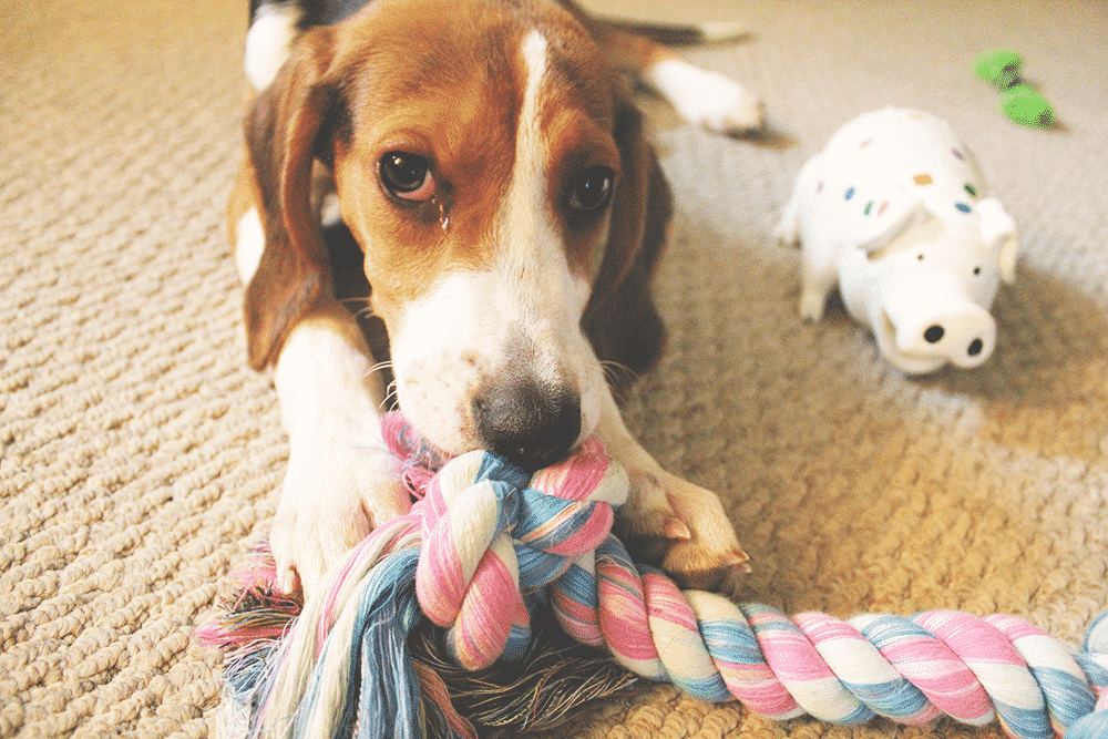 Sookie with Rope Toy