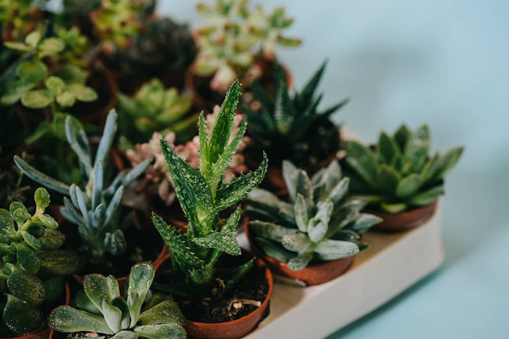 A quick and easy guide on how to propagate succulents. It'll help even those with the blackest of thumbs regrow succulents from the leaves of other succulents. You'll be surrounded in these cute little plants in no time!