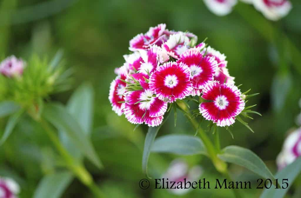 How to Attract Butterflies - dianthus