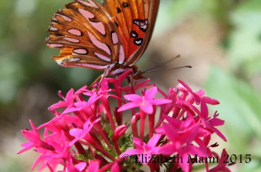 How to Attract Butterflies - Gulf Fritillary on penta