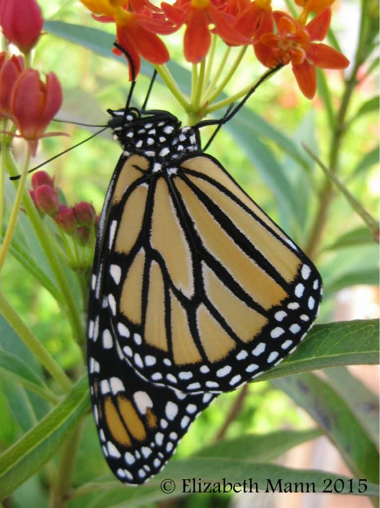 Monarch on host plant Milkweed