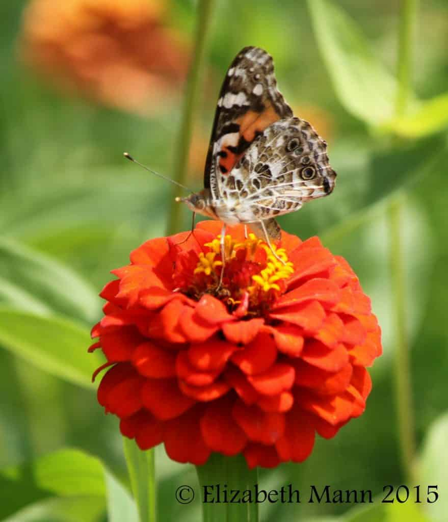How to Attract Butterflies - Painted Lady on zinnia