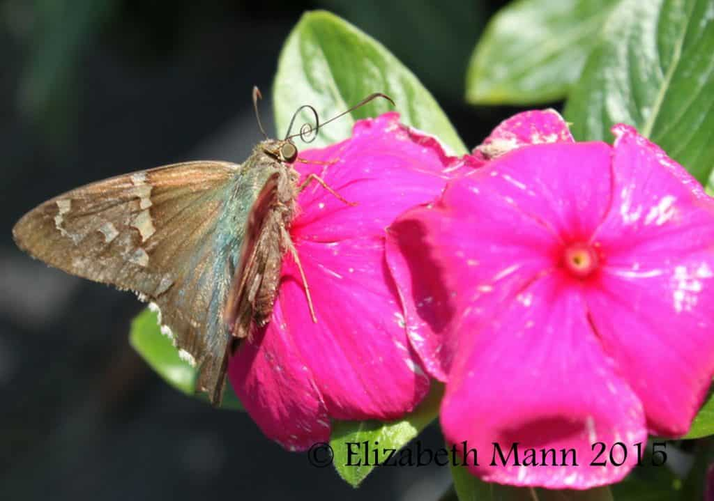 How to Attract Butterflies - Long-tailed Skipper