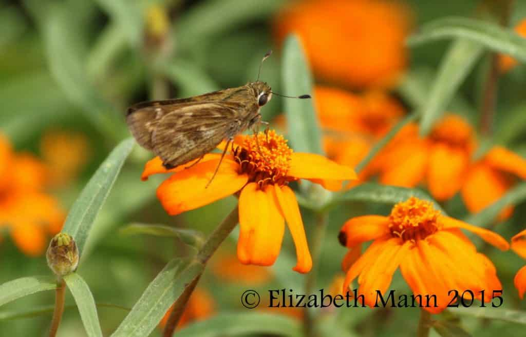 How to Attract Butterflies - Skipper enjoying marigolds