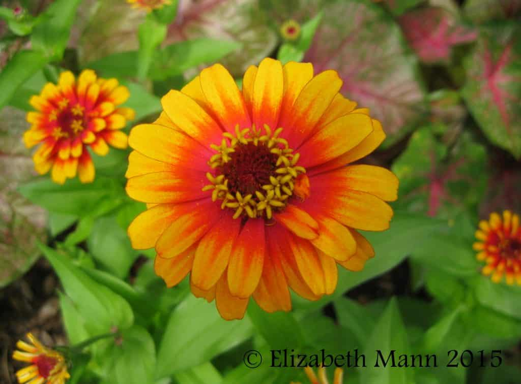 How to Attract Butterflies - Zinnias come in a variety of colors.