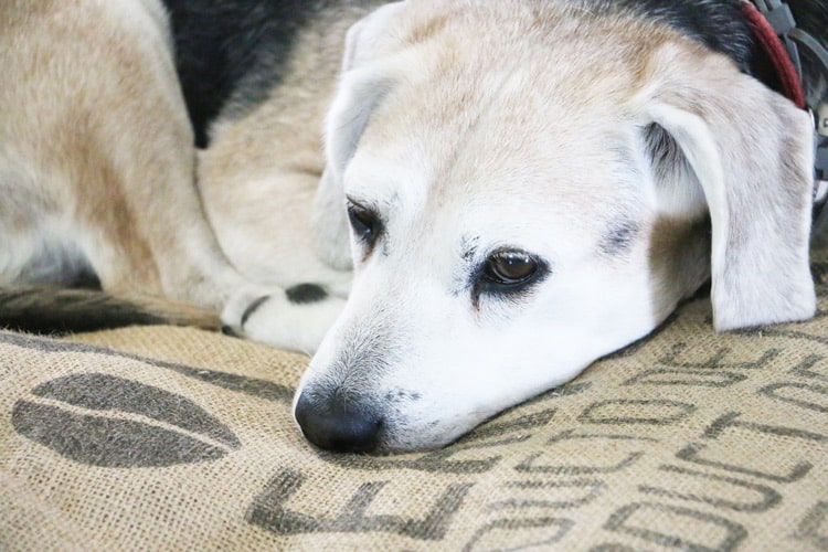 This Easy No Sew Burlap Sack Dog Bed is a quick project that's perfect for any pet lover! It's the perfect way to epicycle old t-shirts and blankets, too!
