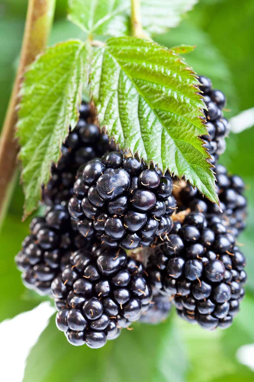 edible landscaping with blackberries