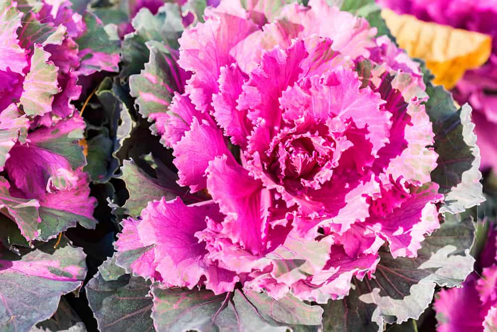 edible landscaping ideas with cabbage