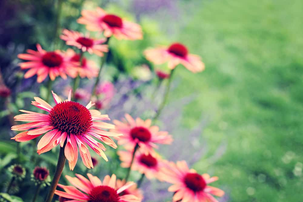 edible landscaping with echinacea