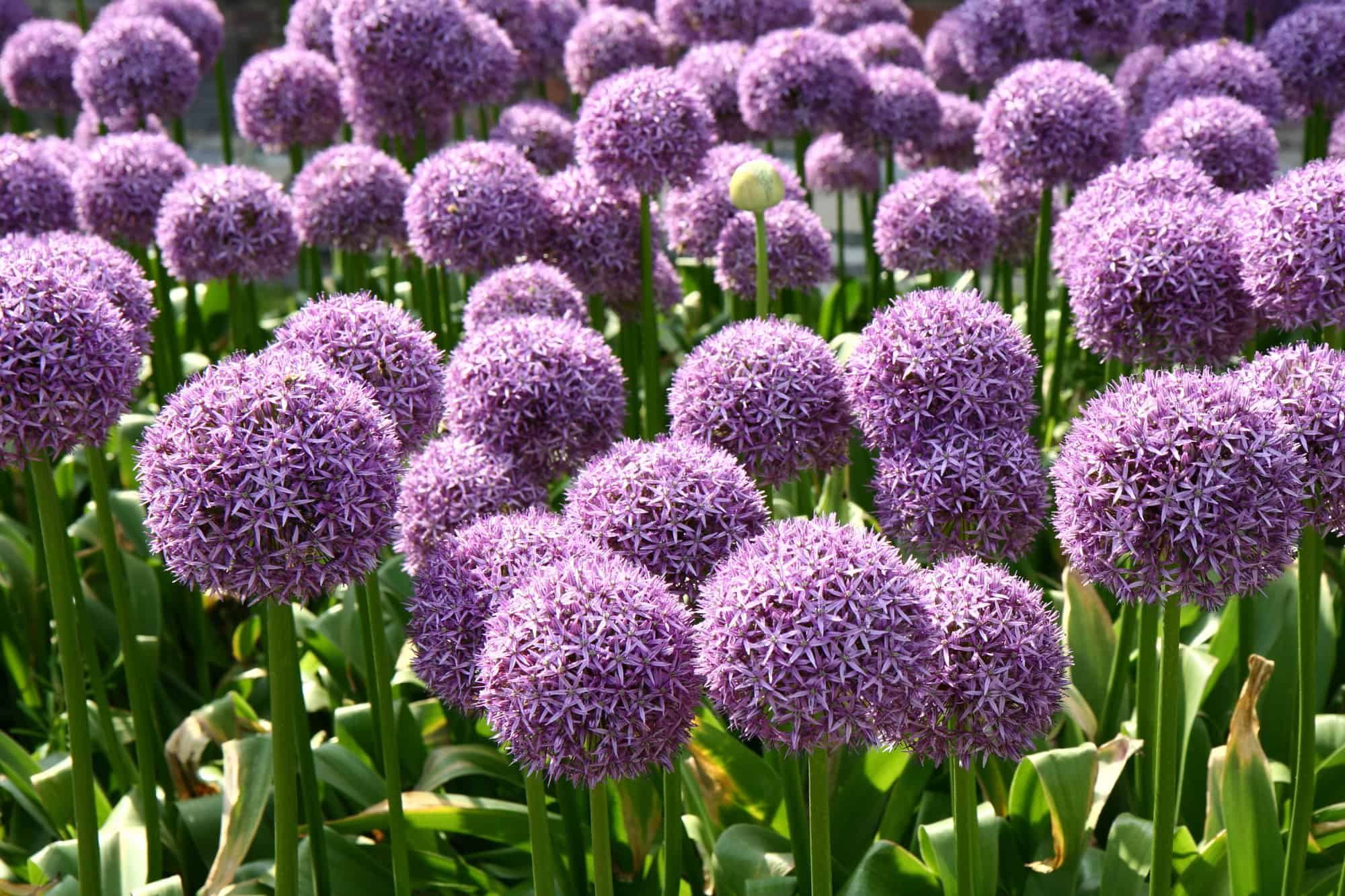 purple flowers from onions