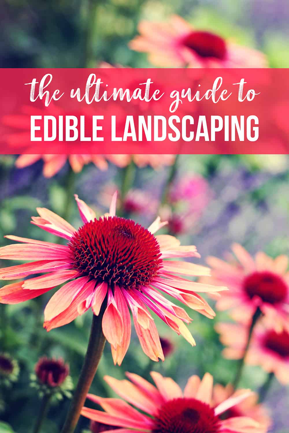 guide to edible landscaping with echinacea